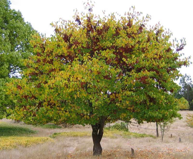 Иудино дерево осенью фото