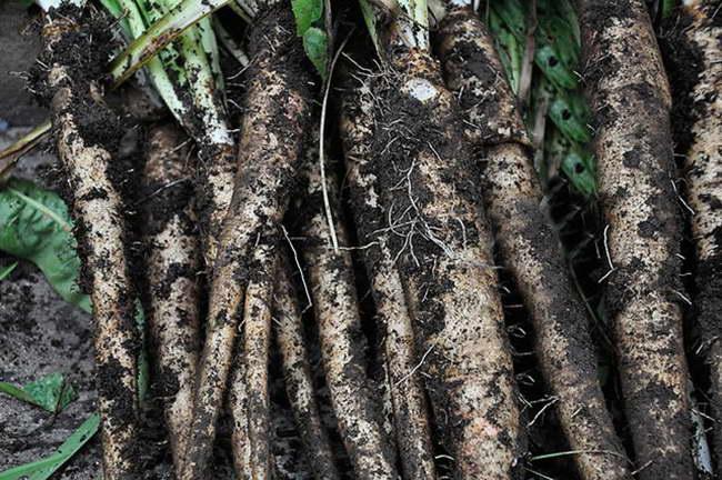 Как хранить урожай цикорного салата витлуф фото корнеплодов
