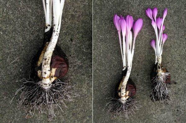 Как и когда пересаживать безвременник Colchicum autumnale фото