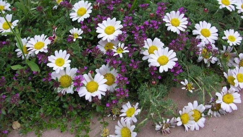 Как называются цветы похожие на ромашку фото и названия