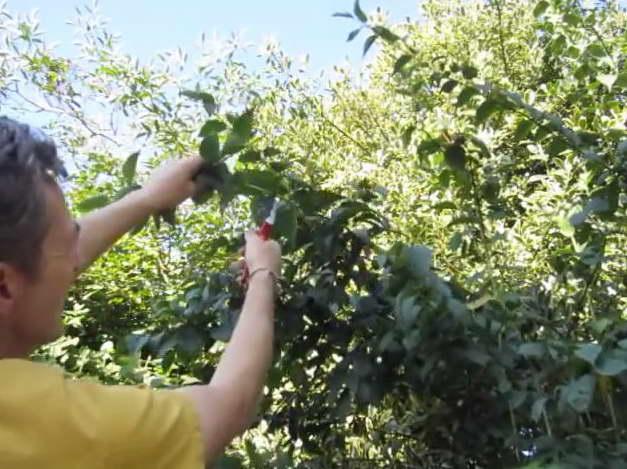 Как обрезать чубушник после цветения фото