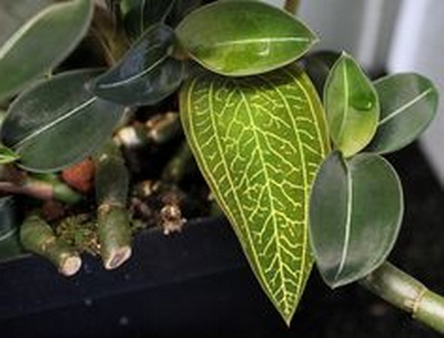 Как обрезать лудизию драгоценную орхидею