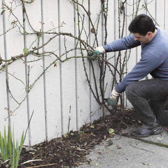 Как обрезать плетистые розы фото