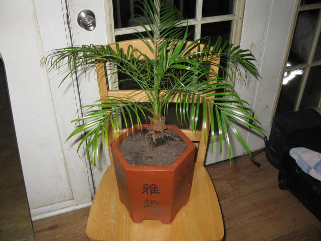 Как пересадить финиковую пальму из косточки