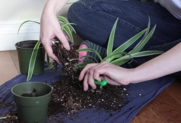 Как пересадить хлорофитум и разделить куст