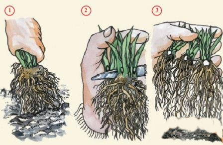 Как поделить куст венечника