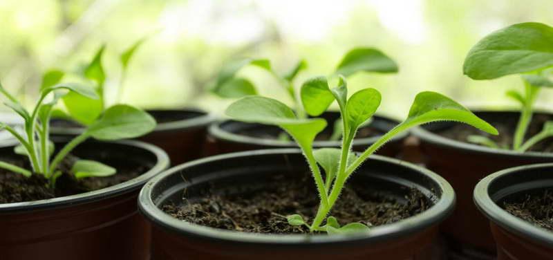 Как подкормить рассаду петунии правильно
