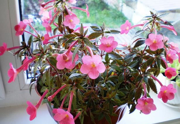 Как поливать ахименес Условия выращивания