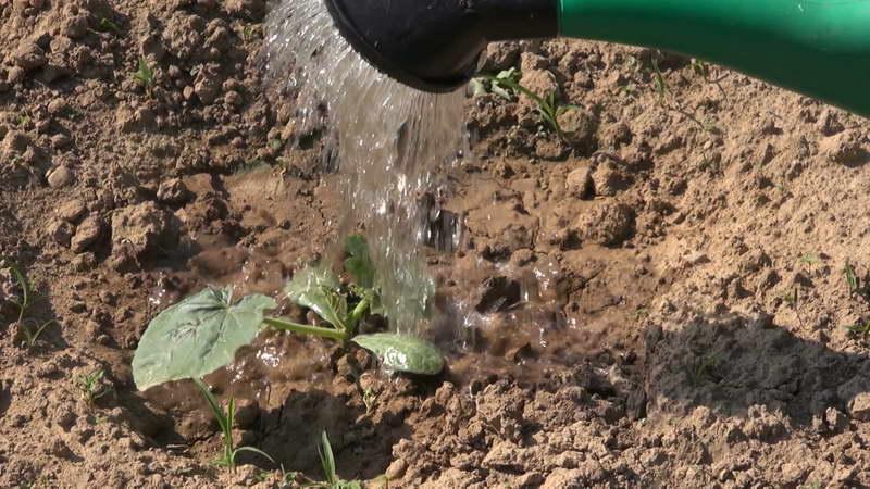 Как поливать рассаду тыквы после высадки в грунт фото