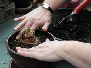 Как посадить амариллис в домашних условиях