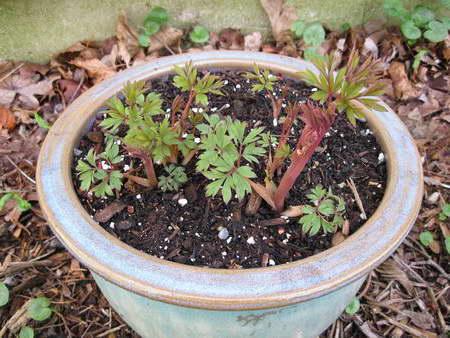 Как посадить астильбу в грунт фото