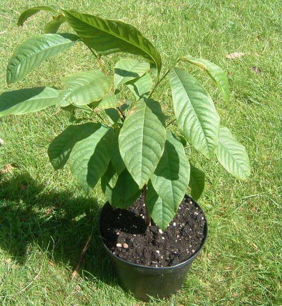 Как посадить азимину в открытый грунт