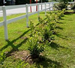 Как посадить бирючину на живую изгородь
