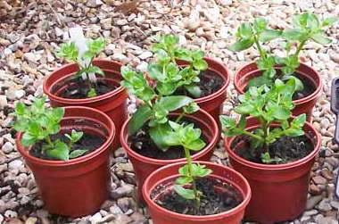 Как посадить диасцию семенами в домашних условиях