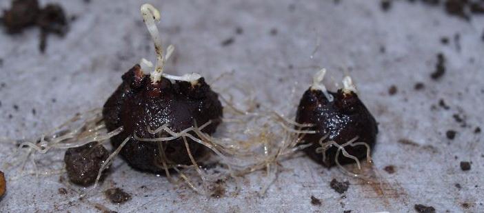 Как посадить эрантис фото клубнелуковиц