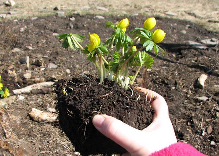 Как посадить эрантис весенник фото