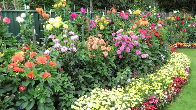Как посадить георгины Посадка георгинов клубнями и семенами весной Фото и видео