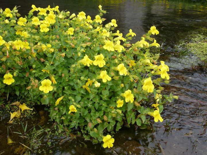 Как посадить губастик в грунт и водоем фото