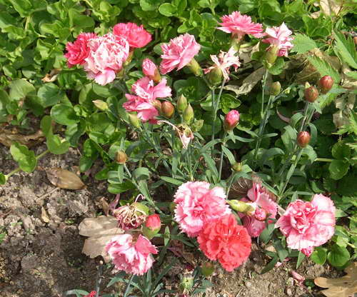 Как посадить гвоздику Шабо Гвоздика Шабо на клумбе фото