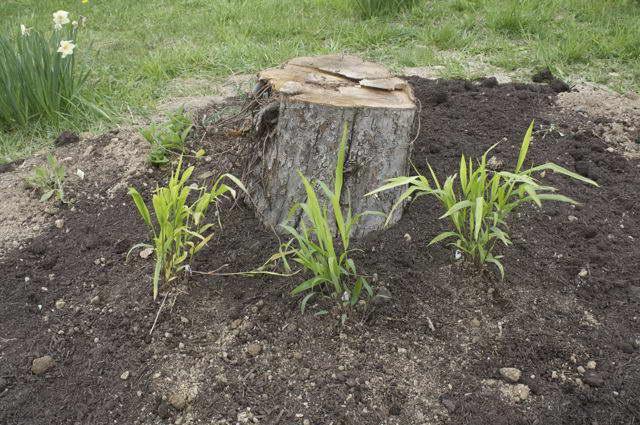Как посадить хасматиум в грунт фото