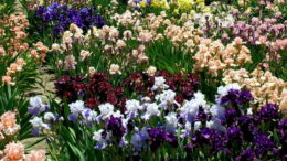Как посадить и размножить ирисы в открытом грунте Фото цветов