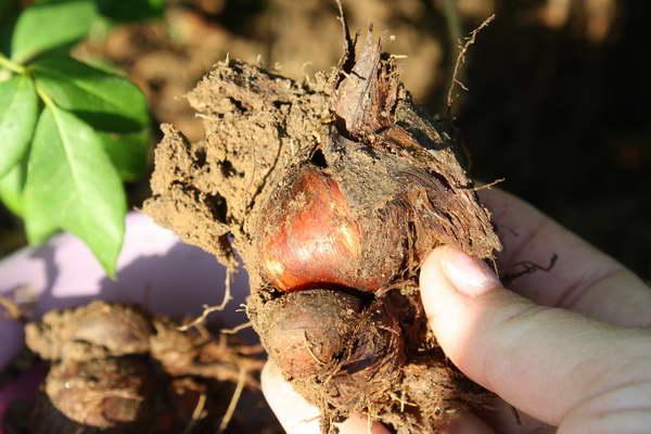 Как посадить иридодиктиум фото луковиц