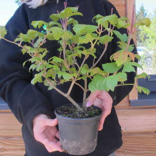 Как посадить калину бульденеж в саду