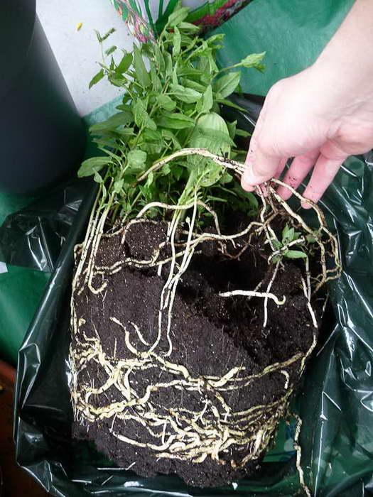 Как посадить калистегию в грунт фото саженцев выращенных с осени до весны