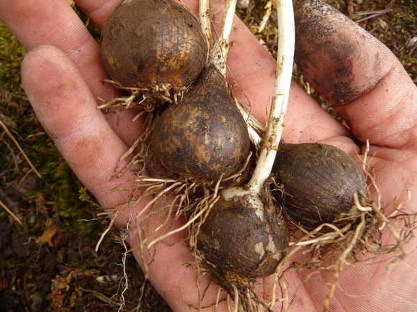 Как посадить камассию луковицами фото