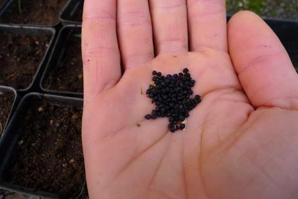 Как посадить камассию семенами на рассаду фото