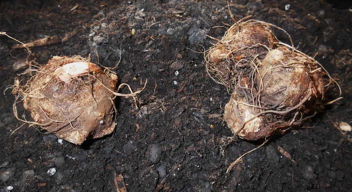 Как посадить клубни каладиума фото