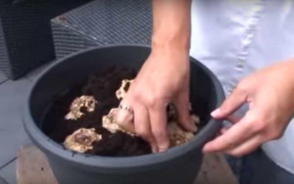 Как посадить клубни зантедескии фото