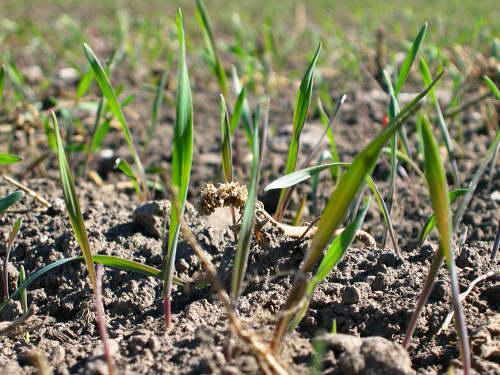 Как посадить колосняк семенами в грунт фото