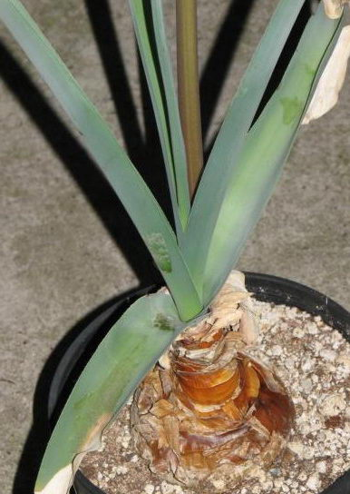 Как посадить кринум в горшке фото