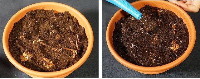 Как посадить крокусы в горшок