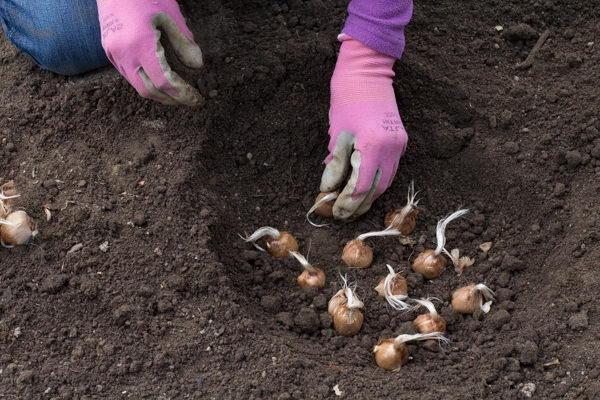 Как посадить крокусы в грунт фото