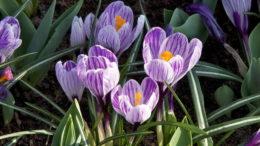 Как посадить крокусы в саду и домашних условиях фото цветов
