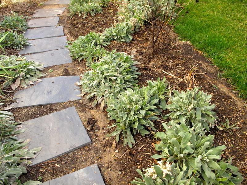 Как посадить лихнис в грунт фото в саду