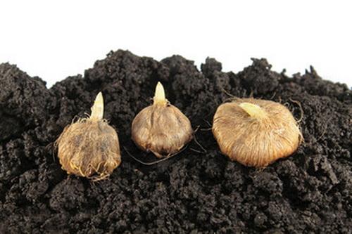 Как посадить луковицы иксии