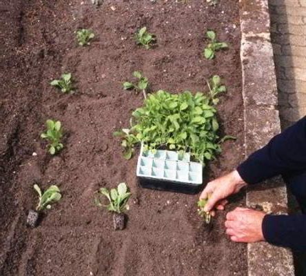 Как посадить маттиолу в грунт