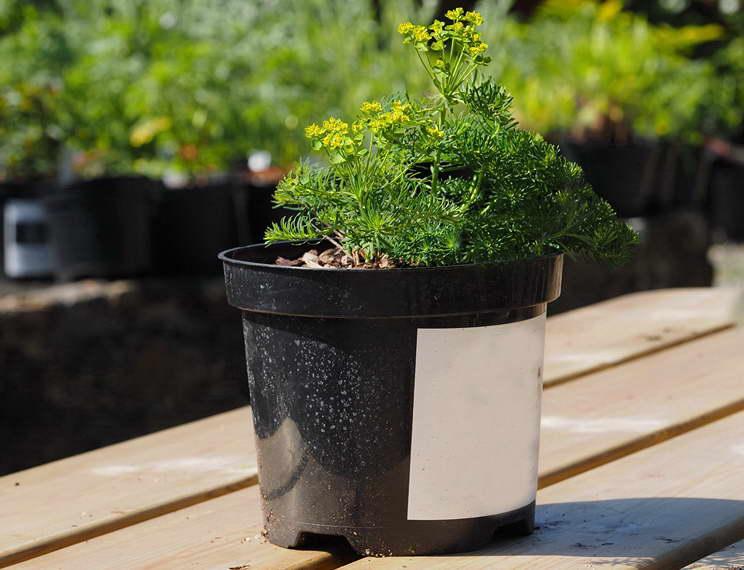 Как посадить молочай кипарисовый в открытый грунт