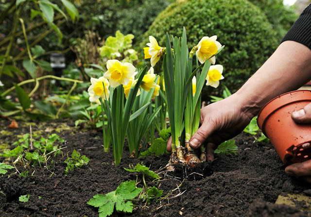 Как посадить нарциссы весной фото