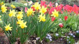 Как посадить нарциссы весной и осенью в открытый грунт