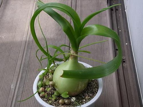 Как посадить орнитогалум фото