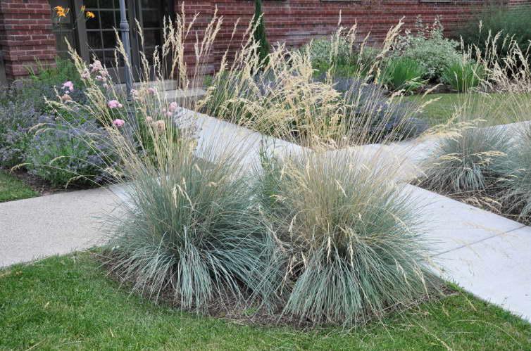Как посадить овсец голубой в открытом грунте
