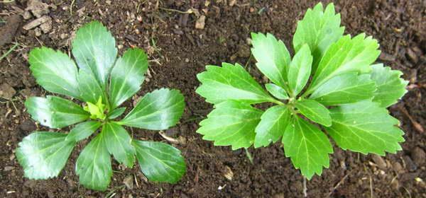Как посадить пахизандру в открытый грунт фото