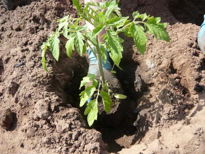 Как посадить помидоры Банановые ноги в грунт фото