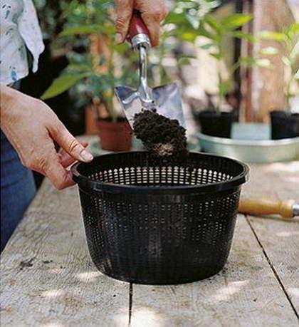 Как посадить понтедерию