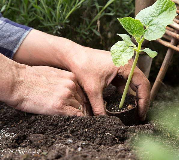 Как посадить рассаду лагенарии в открытый грунт фото