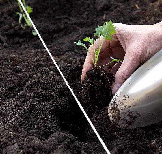Как посадить рассаду листовой капусты кале в грунт фото